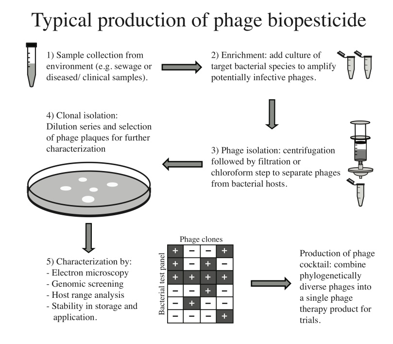 Phage cocktail production